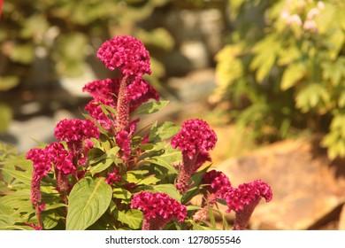 Cockscomb, Chinese Wool Flower, Celosia argentea L. var. cristata (L.) Kuntze.