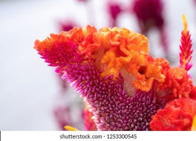 Cockscomb flower, Celosia argentea Purple and white, Beautiful pink celosia flamingo feather flowers, for Background or Wallpaper.