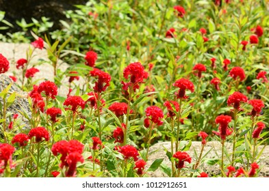 cockscomb flower or Chinese wool flower.Fantastic blurred red cockscomb flowers garden in red and orange color cockscomb.