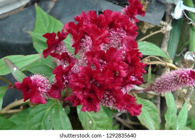 Cockscomb Flower With Green Background