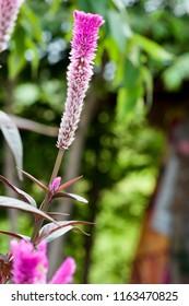 Cockscomb flower and green leaves. Picture is selective focus. Common Name: Will Cockcomb, Cockcomb. Scientific name: Celosia argentea Linn. (C.argentea L. var, cristata Ktze). Family: AMARANTHACEAE.