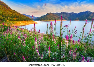 Cockscomb flower and green mountain at Khun Dan Pra kan Chon Dam, Nakon Nayok province, Thailand.
