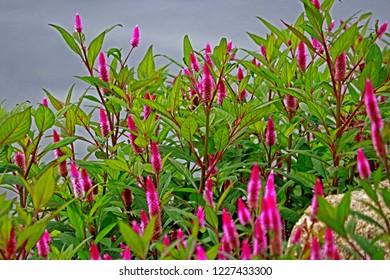 Cockscomb flower plant