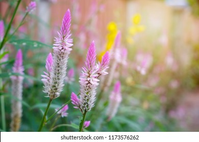 Cockscomb flower, Purple and white flower, Beautiful pink celosia flamingo feather flowers, for Background or Wallpaper.