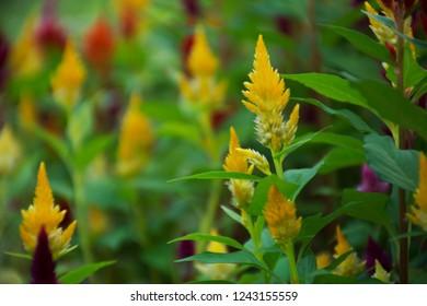 cockscomb flower yellow