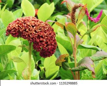 Cockscomb flowers blooming on tree in the garden. Cockscomb, Chainese Wool flower, Crested celosin (Celosia argentea var. cristata (L.) Kuntze, Celosia cristata L.)
