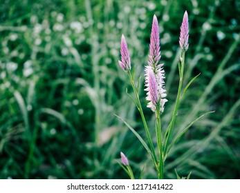 Cockscomb flowers in field