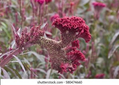 Cockscomb medicinal plants cristata medicinal plants