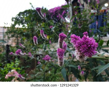 Cockscomb (other names : Chainese Wool flower, Wool flower) is planted around the world. There are many color such as purple and white. It is easily to grow. It was took photo in macro focus.