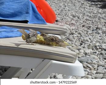 Cocky sparrows argue over a half-eaten corn cob.