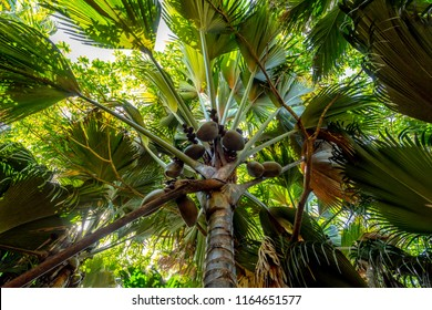 Coco de mer coconut tree in Vallée de Mai, Seychelles Praslin Grand Anse beach paradise holiday vacation. Travel to Seychelles for beautiful sea and white beaches in Indian Ocean, Africa. Lodoicea.