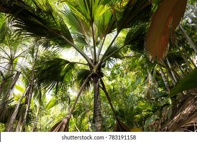 Coco de mer (Lodoicea maldivica) in the tropical forest, Seychelles