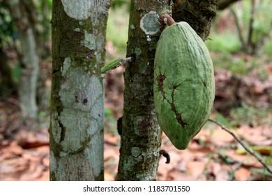 Cocoa Bean on a tree in Ghana