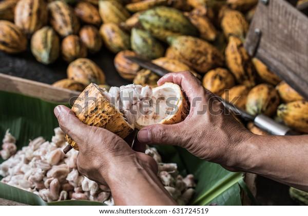 Granos de cacao y frutas de cacao.