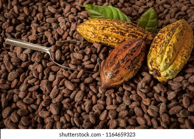 Cocoa Beans and Cocoa Fruits on wooden, Cocoa concept with raw.