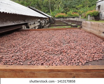 cocoa beans (seeds of theobroma cacao) drying in the sun amongst lush foliage on the island of Grenada