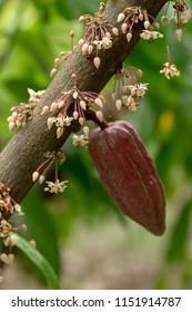 Cocoa flowers, Cacao fruit, Cocoa pod on tree.