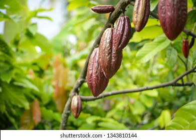Cocoa fruits and trees in the highlands of Samosir Island in North Sumatra, Indonesia