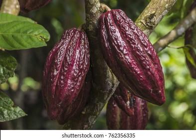 cocoa plant fruit