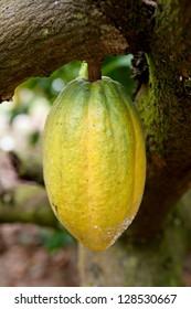Cocoa pod on tree