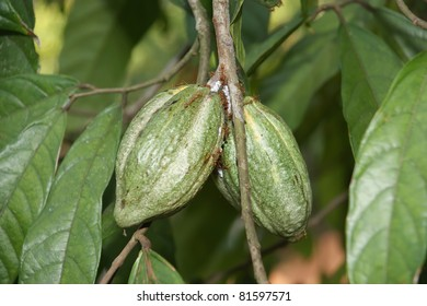 Cocoa pods on tree with immature fruit in natural conditions