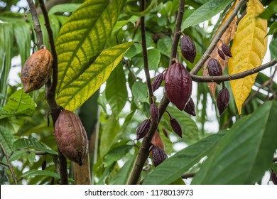 The cocoa tree with fruits. Yellow and green Cocoa pods grow on the tree, cacao plantation in village Nan Thailand.
