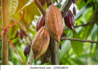 The cocoa tree with fruits. Yellow and green Cocoa pods grow on the tree, Thailand.