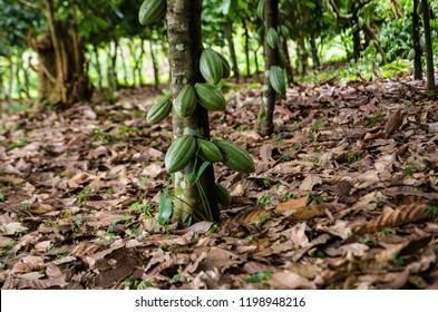 A cocoa tree with green pods at cocoa plantation, Akim Tafo, Eastern Region, Ghana.