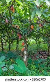 Cocoa tree plant
