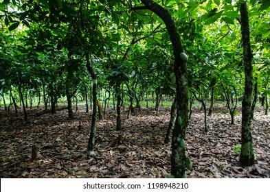 A cocoa tree plantation, Akim Tafo, Eastern Region, Ghana.