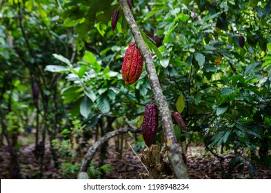 A cocoa tree with red pods at cocoa plantation, Akim Tafo, Eastern Region, Ghana.
