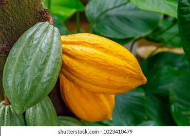 The cocoa tree ( Theobroma cacao ) with fruits. Yellow and green Cocoa pods grow on the tree