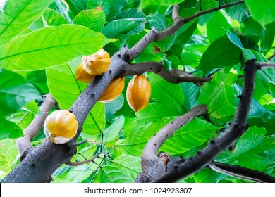 The cocoa tree ( Theobroma cacao ) with fruits. Yellow Cocoa pods grow on the tree