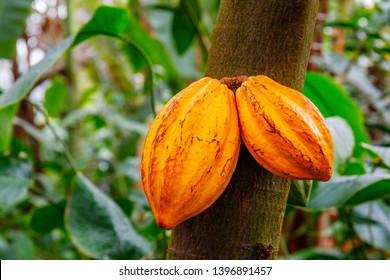 cocoa tree ( Theobroma cacao ) with fruits. Yellow and green Cocoa pods grow on the tree