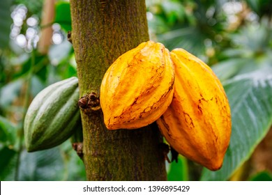 cocoa tree ( Theobroma cacao ) with fruits. Yellow and green Cocoa pods grow on the tree, close up