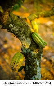 Cocoa tree ( Theobroma cacao ) with fruits yellow bokeh background