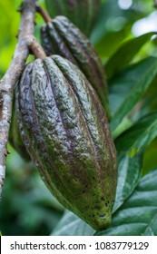 Cocoa tree (Theobroma cacao) with green fruits./Cocoa tree (Theobroma cacao) with fruits