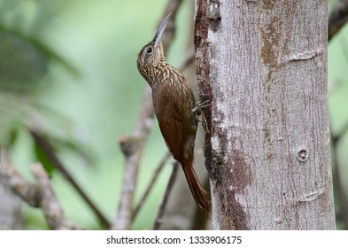 Cocoa Woodcreeper (Xiphorhynchus susurrans) perched on a tree trunk