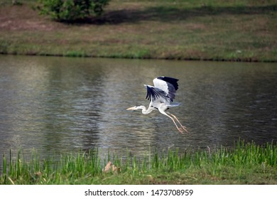Cocoi heron (Ardea cocoi) from the Ardeidae family, in flight.