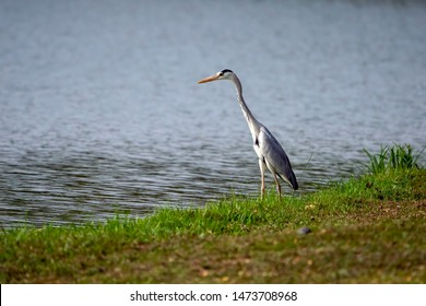 Cocoi heron (Ardea cocoi) from the Ardeidae family by the lake.