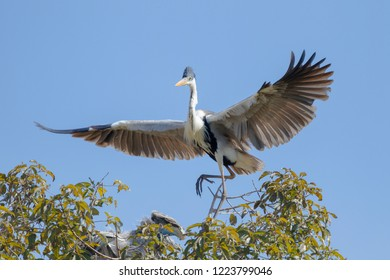 Cocoi Heron (Ardea cocoi) landing on the top of a tree, Pantanal, Mato Grosso, Brazil
