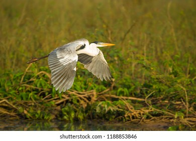 Cocoi heron flying over river in the Pantanal, Brazil