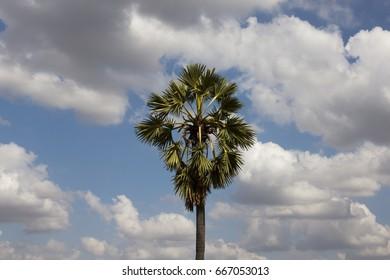 Coconut   blue  sky