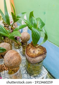 Coconut bonsai in a recycled plastic container