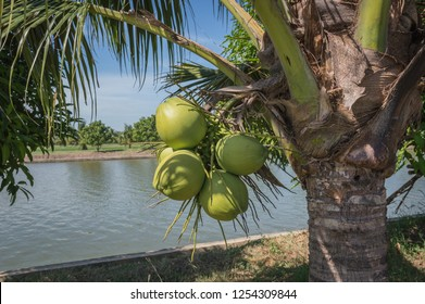 coconut cluster on palm tree ,Special sweet coconut juice.