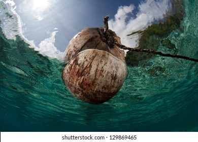 A coconut (Cocos nucifera) drifts in shallow water near an island in New Caledonia.  Coconuts can disperse over great distances by floating.