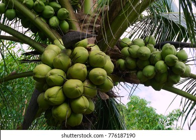Coconut is combined in a bunch on coconut palms.