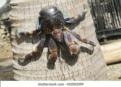 Coconut crab, an iconic animal of the Batanes islands in Philippines. The coconut crab is also known as the robber crab or palm thief.