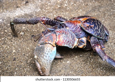 A coconut crab is making its way across a gravel path, an enormous pincer on display. It is missing a few legs. Its shell is covered with colourful patterns.