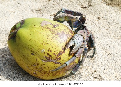 Coconut crab on a coconut fruit. The coconut crab is also known as the robber crab or palm thief.